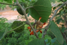 Paper mulberry flower