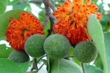 Paper mulberry flowers and fruits
