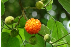 Paper mulberry 3