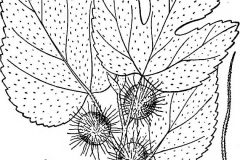 Paper mulberry drawing 2