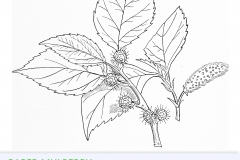 Paper mulberry drawing