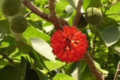 Paper mulberry flower and fruits