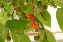 Paper mulberry flowers 2