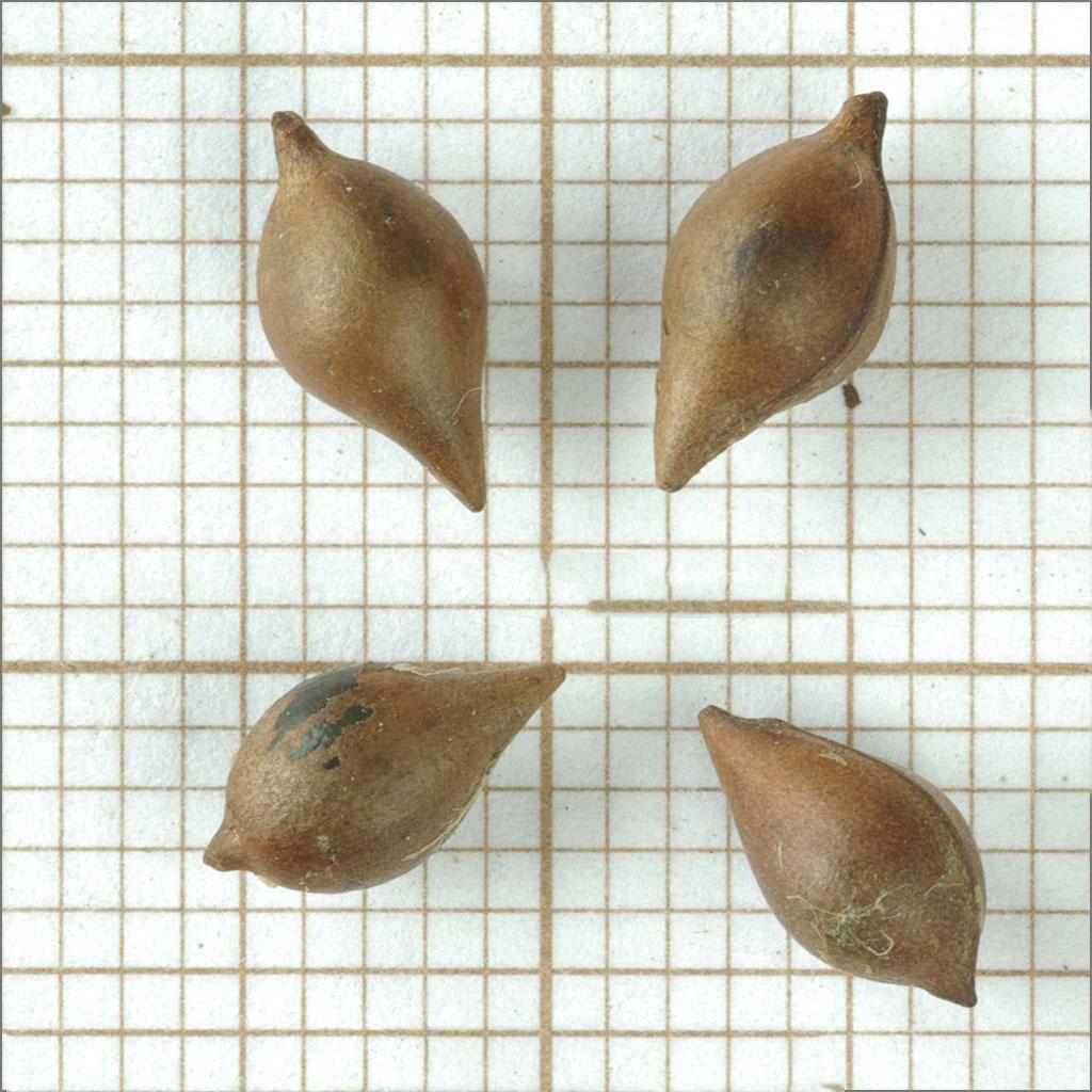 Closer-view-of-seeds-of-Paperbush
