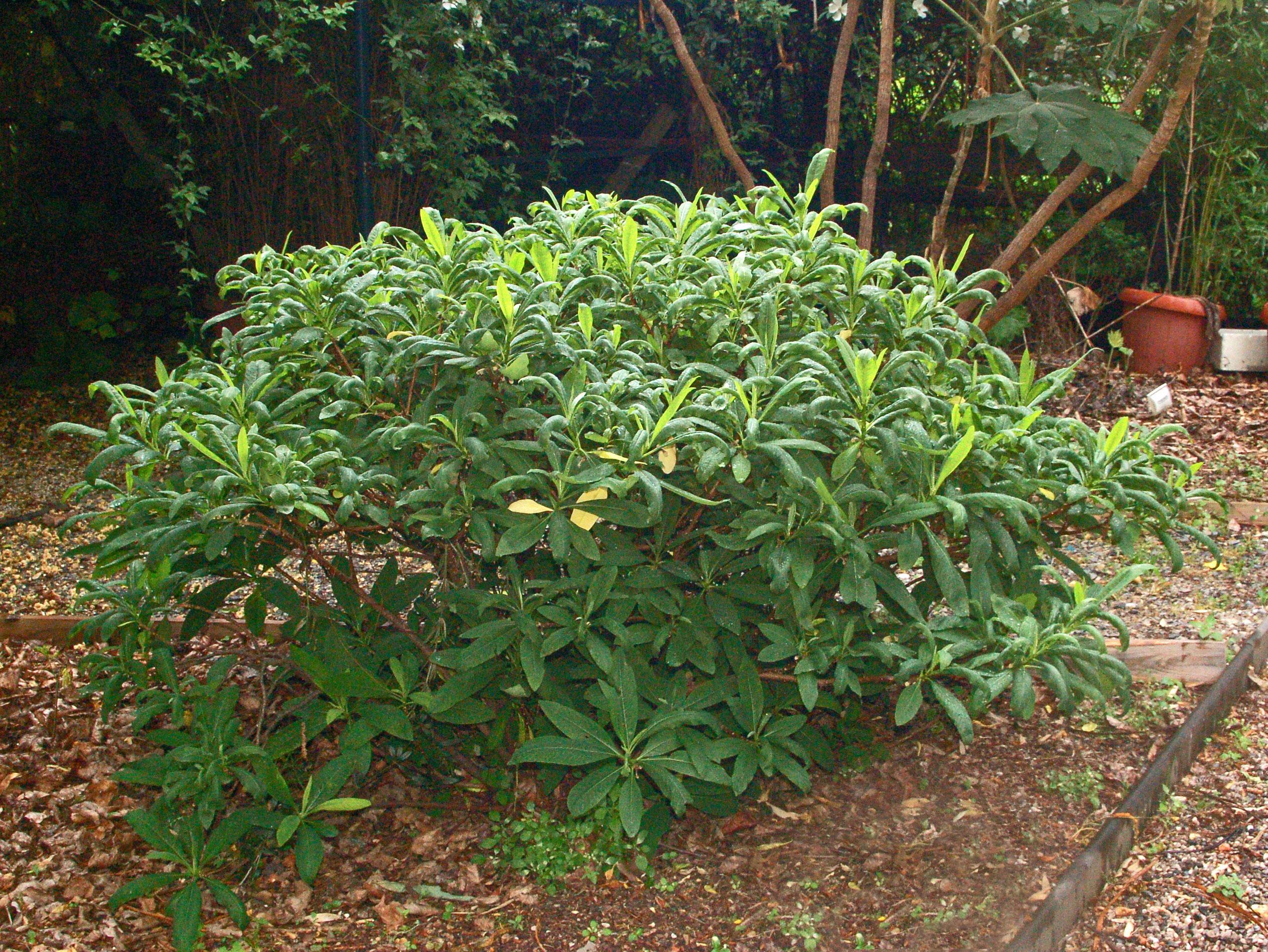 Paperbush-plant-growing-wild