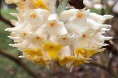 Closer-view-of-Flower-of-Paperbush