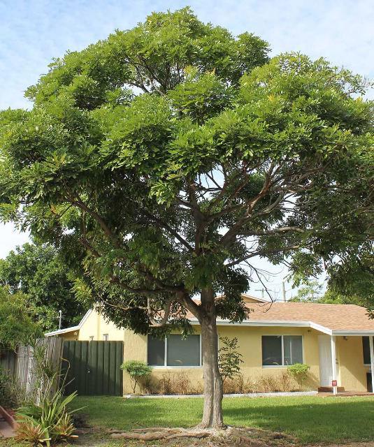 Paradise-Tree