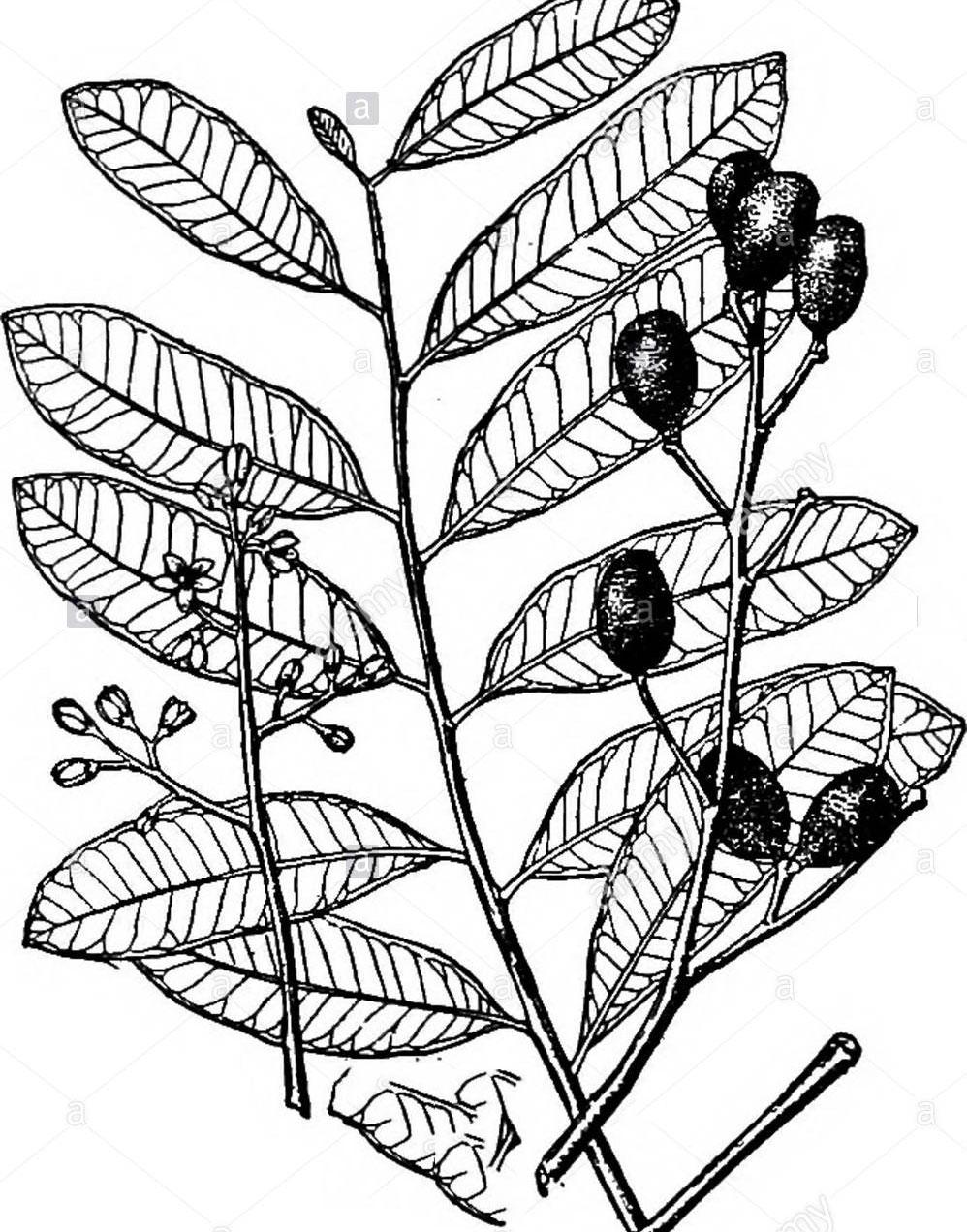 Sketch-of-Paradise-tree
