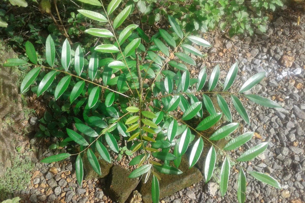 Small-Paradise-plant
