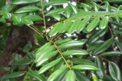 Leaves-of-Paradise-tree