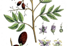 Plant-Illustration-of-Paradise-tree