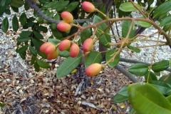 Ripening-fruits-of-Paradise-tree