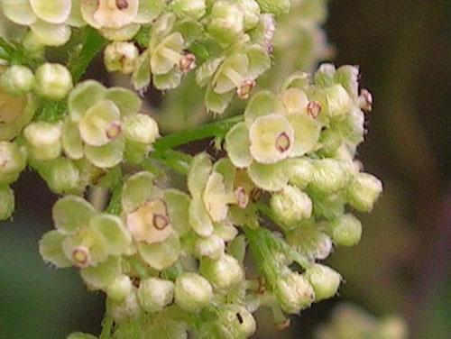 Closer-view-of-flower-of-Pareira