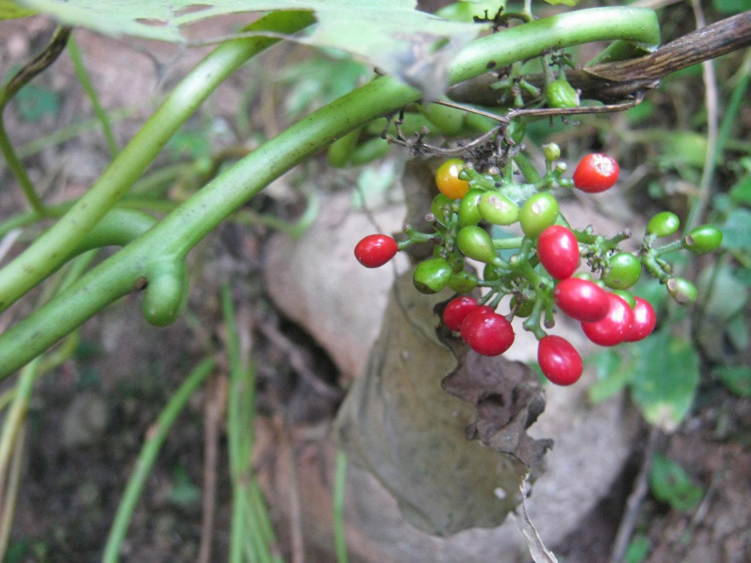 Mature-and-unmature-fruits-of-Pareira