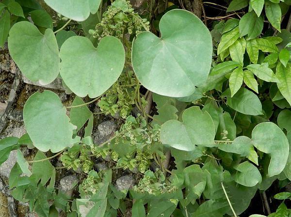 Pareira-plant