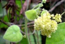 Flower-of-Pareira