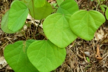 Leaves-of-Pareira