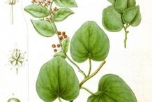 Plant-illustration-of-Pareira