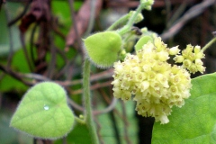 Flower-of-Pareira