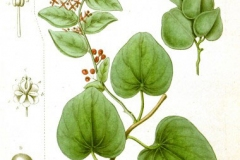 Plant-illustration-of-Pareira
