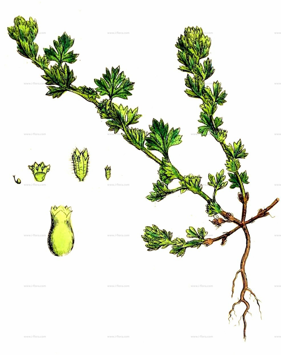 Parsley-piert-plant-Illustration