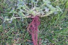 Root-of-Parsley-piert