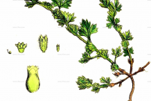 Parsley-piert-plant-Illustration