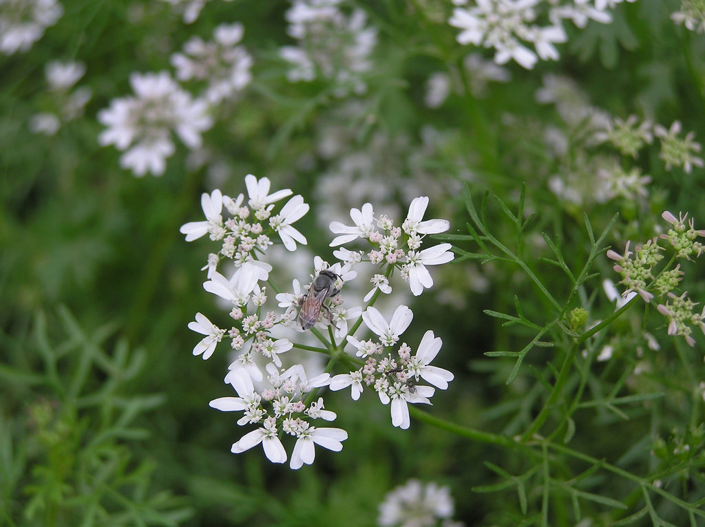 Close-up-flower-of-Parsley