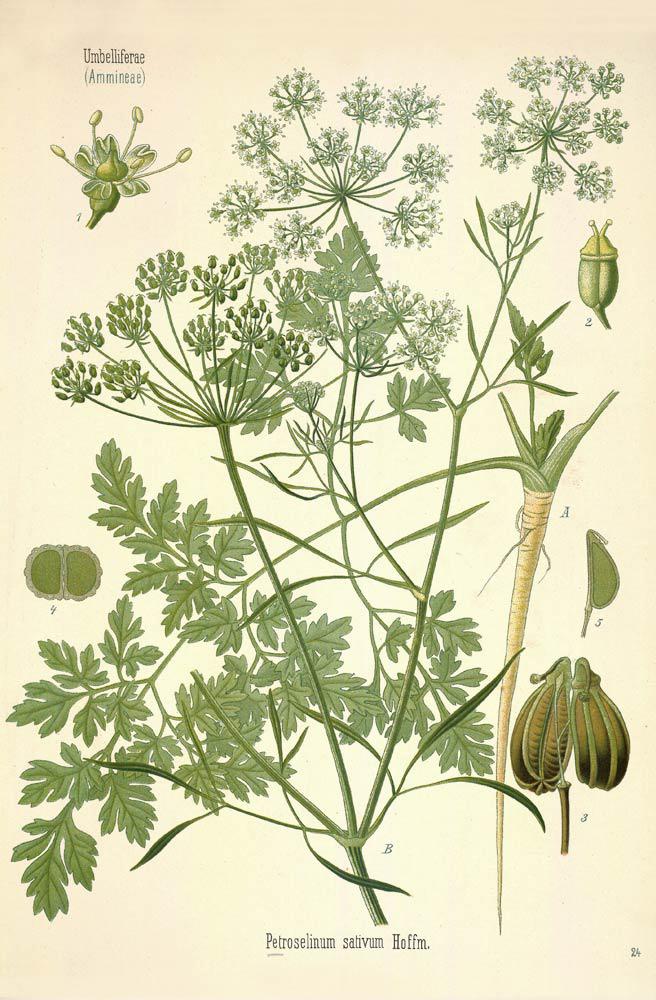 Illustration-of-Parsley-plant