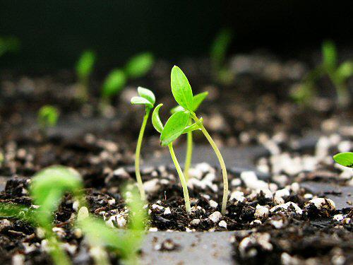 Seedlings-of-Parsley