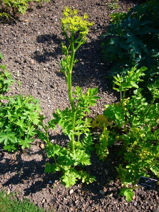 Parsnip-plant