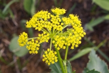 Close-up-flower-of-Parsnip