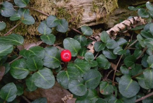 Partridge-Berry-Plant