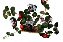 Plant-illustration-of-Partridge-Berry