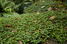 Partridgeberry-growing-wild