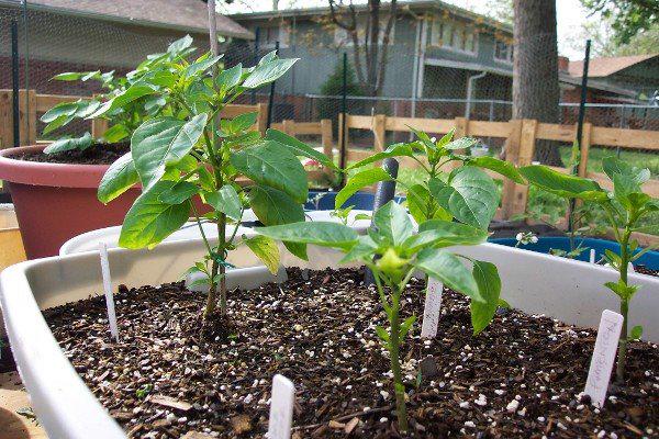 Pasilla-pepper-plant