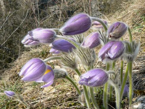 Buds-of-Pasque-Flower plant