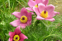 Different-variety-of-Pasque-Flower