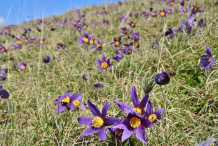 Pasque-Flower-growing-on-the-hill