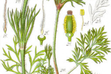 Pasque-Flower-plant-Illustration