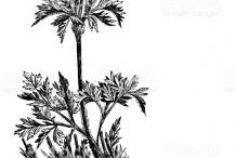 Pasque-Flower-plant-Sketch