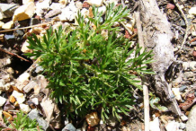 Small-Pasque-Flower-plant