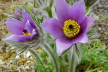 Pasque-Flower-on-the-plant