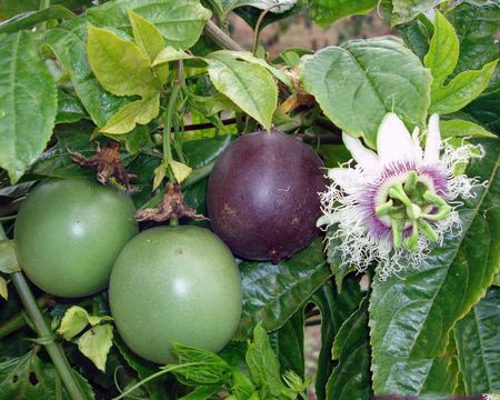 passion fruit flower how healthy are dried fruits