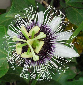 Passion-fruit-flower