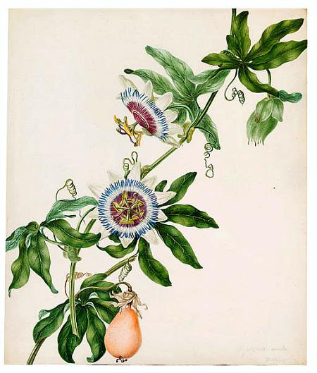 Passion-fruit-plant-Illustrations