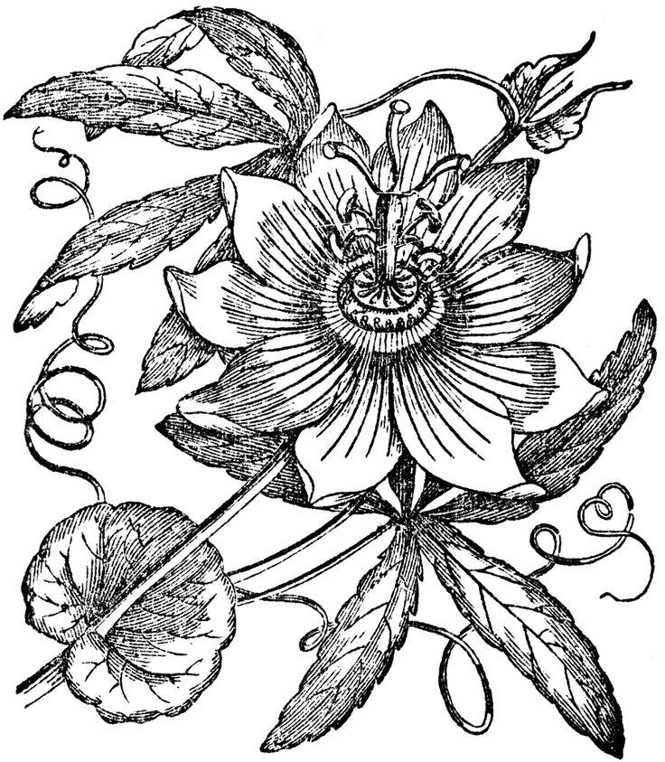 Passion-fruit-plant-Sketch