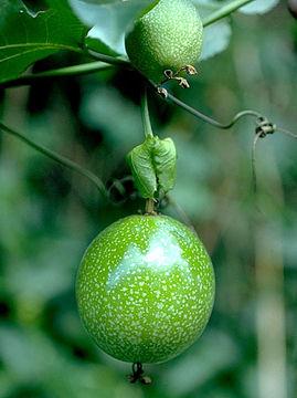 Unripe-Passion-fruit