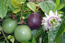 Passion-fruit-&-Flower