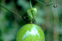 Unripe-Passion-fruit